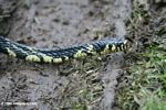 Yellow and black Tiger Ratsnake (Spilotes pullatus). Identification by Anna Vittone