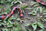 False coral snake [co02-0146]