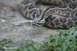 South American rattlesnake (Crotalus durissus)