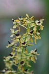 Yellow and black orchids