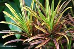 Codiaeum variegatum var. pictum (Mutilcolored house plant).  Identification by Alexander Gostner.