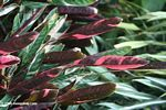 Red leafed plant (Ctenanthe oppenheimiana)