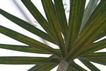 Dracaena with red-edged leaves.  Identification by Alexander Gostner.