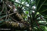 Tangled roots of Philodendron selloum plants.  Identification by Alexander Gostner.