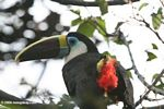 Red Bill Toucan (Ramphastos tucanus)