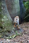Common Squirrel Monkey (Saimiri sciureus) [co03-9452]