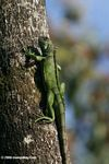 Colombian Green iguana (Iguana iguana) on a tree trunk in the Amazon