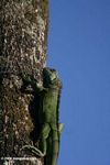 Green iguana on a tree trunk in the Colombian Amazon