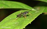 Yellow-legged wasp