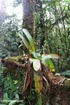 Bromeliad in a Colombian cloud forest