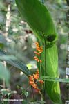 Orange Heliconia [co03-9775]