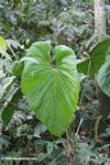 Large green umbrella leaf