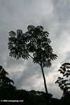 Cecropia tree