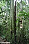 Giant bamboo in Colombia