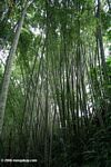Bamboo thicket in Colombia