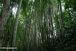 Bamboo forest in Colombia