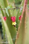 Fuschia and yellow Clerodendrum flower