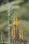 Yellow Agave attenuata flower.  Identification by Alexander Gostner.