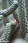 Austrocylindropuntia cylindrica with pink flower