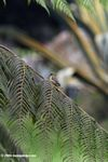 Lesser Goldfinch (Carduelis psaltria) - female - on a fern