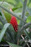 Aechmea fasciata, Red bromeliad flower.  Identification by Alexander Gostner.