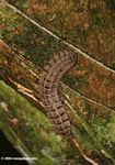Brown millipede (Polydesmidae family) on the trunk of a canopy tree.  Identification by Alexander Gostner.