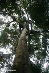 Looking up at a canopy platform in a Kapok tree