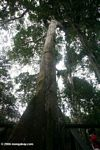 Giant ceiba tree which serves at the base for climbing into the canopy