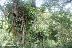 Bromeliads in the rainforest canopy