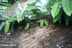 Soil in the rainforest canopy