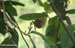 Butterfly high in the rainforest canopy of the Amazon