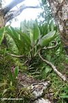 Bromeliads in the canopy of the Amazon rain forest