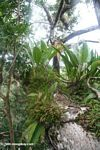 Bromeliads in the Amazon forest canopy