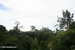 Amazon forest canopy as seen at eye level