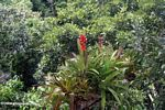 Red flowers of a bromeliad in the Amazon rainforest canopy