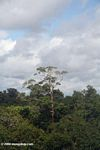 Emergent tree rising above the Amazon rainforest canopy