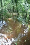 Amazon swamp forest