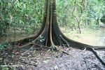 Buttress roots in the Amazon swamp forest