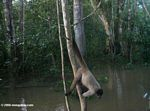 Young male woolly monkey