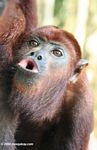 Red howler monkey (Alouatta seniculus) howling