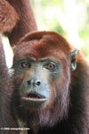 Red howler monkey at a rehabilitation center