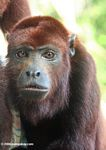 Red howler monkey [co04-1122]