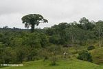 Emergent canopy tree near a cattle pasture in the Amazon