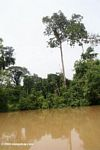Oropendula nests along the Amacayacu, a tributary of the Amazon river