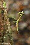 Light green praying mantis