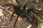Giant black and red jungle tarantula, possibly Pamphobeteus petersi or Red rump tarantula (Brachypelma vagans)