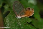 Butterfly with transparent wings, eye-spots, and orange-rust coloration (likely Haetera macleannania)
