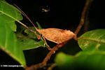 Brown leaf katydid in the Colombian Amazon