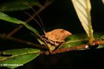 Brown leaf katydid