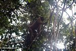 Woolly monkey in a tree